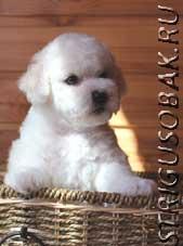 Продаются щенки Бишон Фризе.